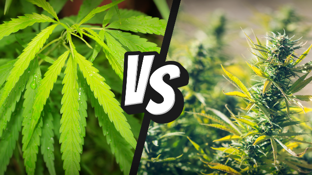 cannabis-vs-marijuana
